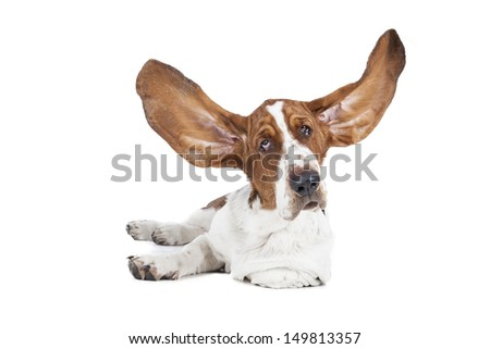 Basset hound on a white background in studio