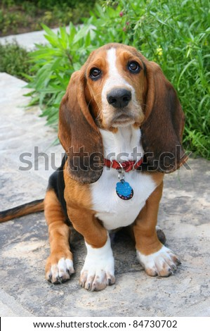 Basset Hound puppy - stock photo