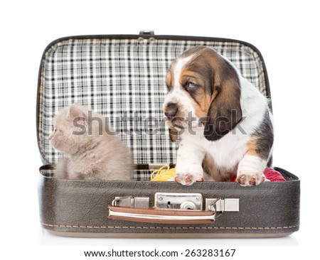 basset hound puppy and kitten sitting in a bag. isolated on white background