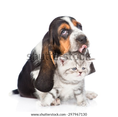 basset hound puppy licking tiny kitten. isolated on white background  - stock photo