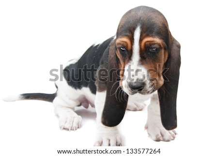 basset hound puppy on white background looking very sad and depressed - stock photo