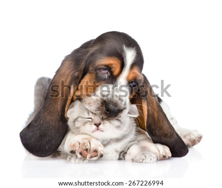 Basset hound puppy playing with kitten. isolated on white background
