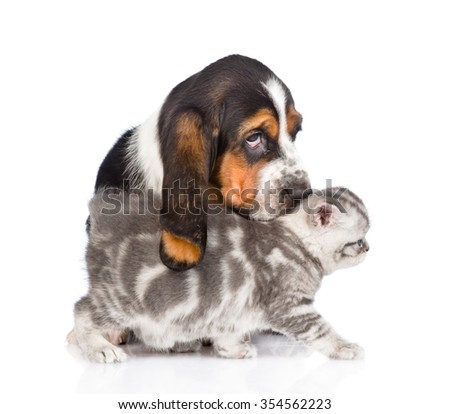 basset hound puppy sniffing kitten. isolated on white background