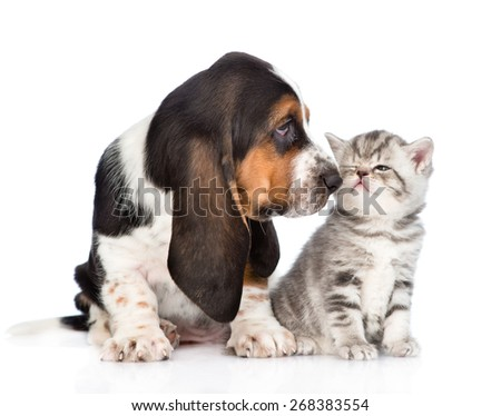 basset hound puppy sniffs tabby kitten. isolated on white background - stock photo