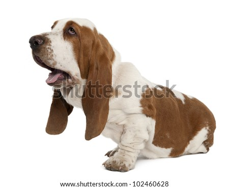 Basset Hound sitting in front of a white background - stock photo