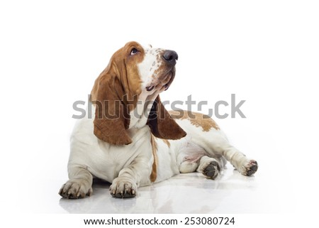 Basset Hound,  sitting in front of white background