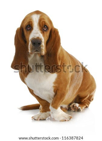 basset hound sitting looking at viewer sitting on white background - 3 years old - stock photo