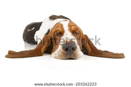 Basset Hound sleeping isolated on white background