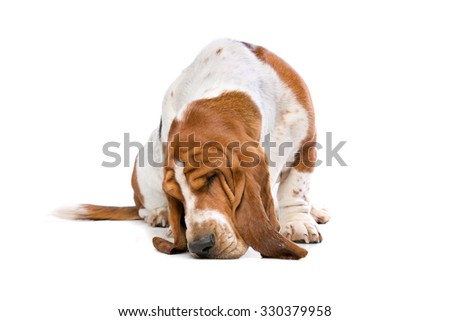 Basset hound sniffing the ground in front of a white background