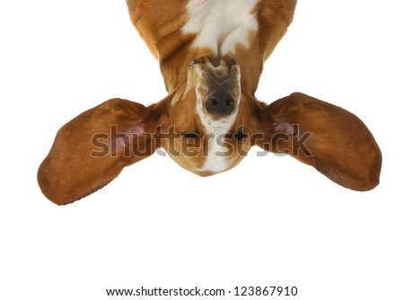 basset hound upside down with ears out listening isolated on white background - stock photo