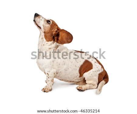 Basset Hound with Ears Flying Back
