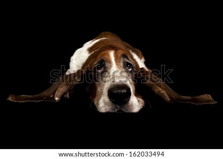 basset hound with his ears out isolated on black - stock photo