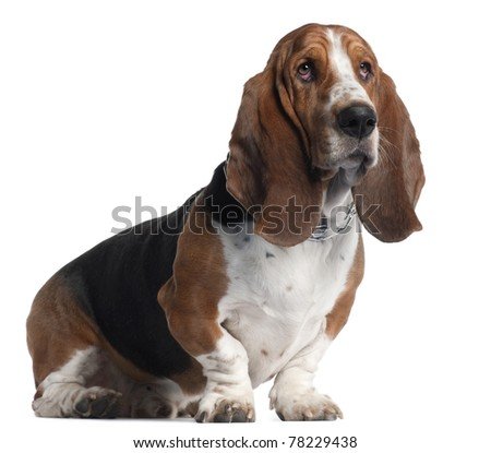 Basset Hound, 3 years old, sitting in front of white background - stock photo