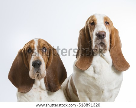 Basset hounds in a studio.