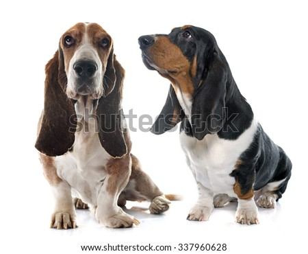 Basset Hounds in front of white background