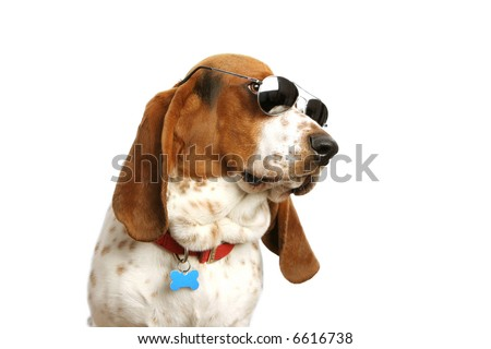 Bassett hound with sunglasses on white backdrop.