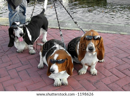 bassett hounds with sun glasses