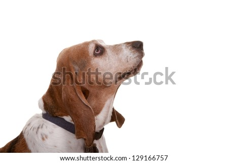 Bassit mix hound dog with big sad eyes on a white background with collar and tags.