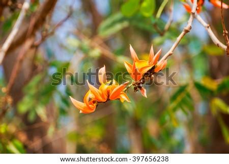 Bastard Teak Flower bloom - stock photo