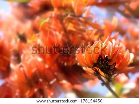 Bastard Teak Flower bloom in Chiangmai, Thailand.  - stock photo