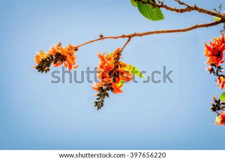 Bastard Teak Flower bloom on blue sky background - stock photo