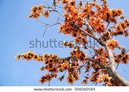 Bastard Teak Flower bloom on summer Thailand.  - stock photo