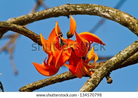 Bastard Teak flower, Flame of the Forest - stock photo