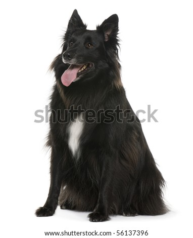 Bastard, 4 years old, sitting in front of white background