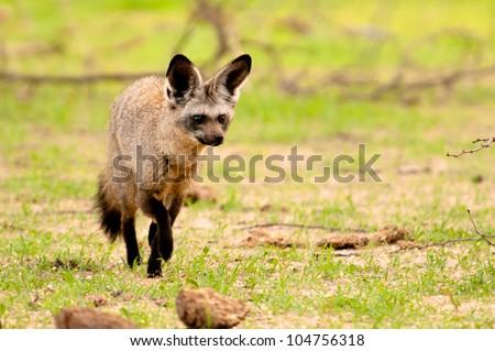 Bat Eared Fox, Ruaha National Park, Tanzania. - stock photo