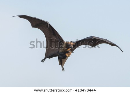 bat flying with baby , Flying Lyle's flying fox (Pteropus lylei)
