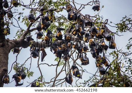 Bat hanging on a tree branch Malayan - stock photo