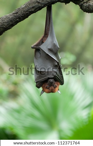 Bat hanging on a tree branch Malayan bat - Also known as large flying fox - stock photo