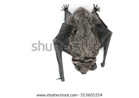bat hanging upside down - isolated on white background - stock photo