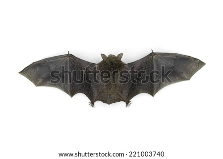 bat isolated on white background - stock photo