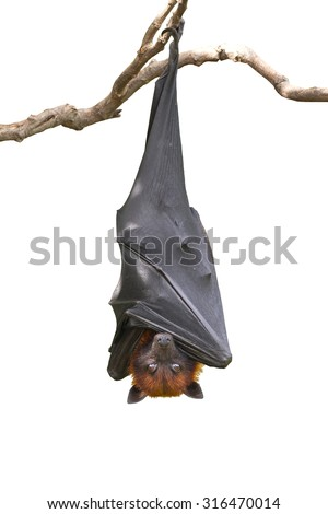 Bat,Lyle's flying fox (Pteropus lylei),isolated on white background, with clipping path - stock photo