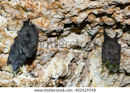 Bat on a cave at Giron on Cuba - stock photo
