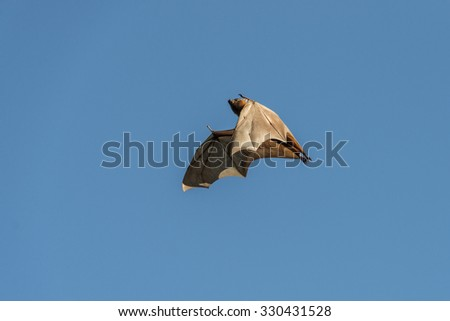 Bat or little red flying fox in flight. The little red flying fox is a species of mega-bat native to northern and eastern Australia.