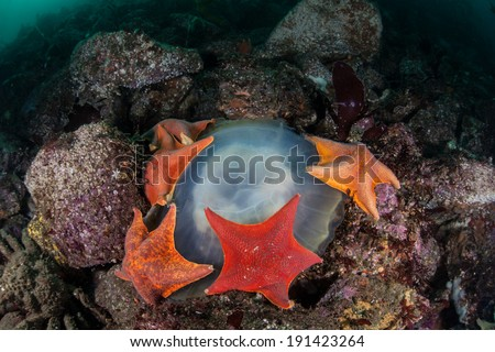 Bat sea stars (Asterina miniata) feed on a jellyfish on the rocky bottom of a kelp forest growing off the coast of Northern California.  - stock photo
