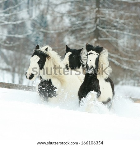 Batch of irish cobs running together in winter - stock photo