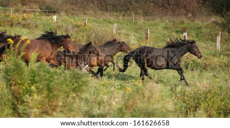 Batch of kabardin horses running together in autumn - stock photo