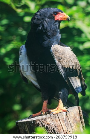 Bateleur Eagle in full glory - stock photo