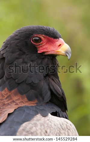 bateleur eagle profile - stock photo