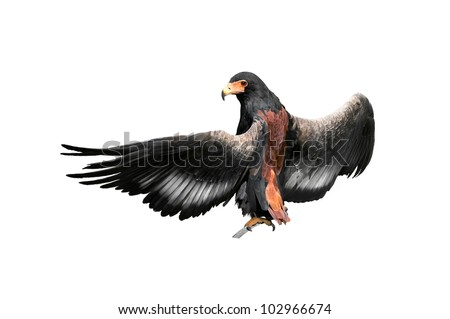 Bateleur eagle sitting on a branch, spreading wings, isolated on white background - stock photo