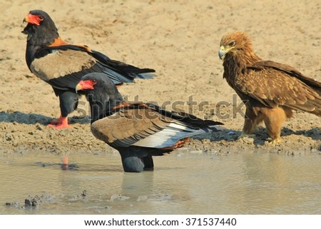 Bateleur Eagle - Wild Bird Background from Africa - Colors in Nature
