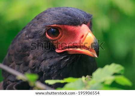 Bateleur Eagle with open beak - stock photo