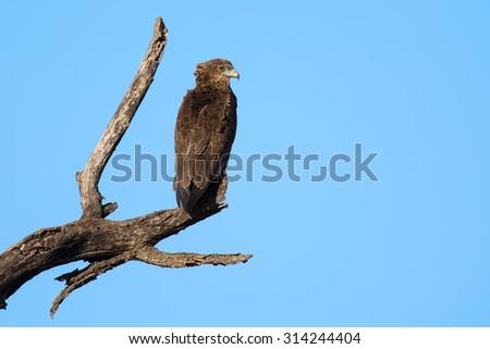 Bateleur juvenile sitting alone on dead branch against blue sky - stock photo