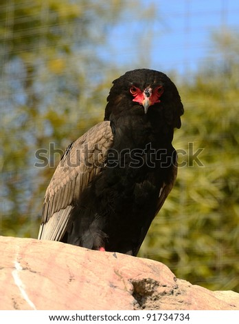 Bateleur Snake Eagle on Perch - stock photo