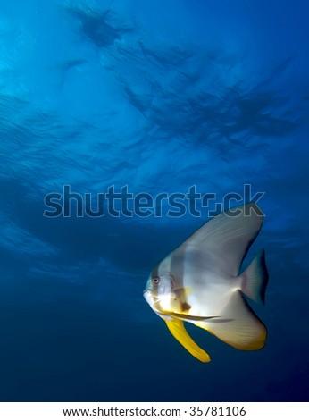 batfish - stock photo