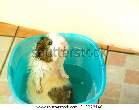 Bath Guinea Pig selective focus in blue bucket. - stock photo