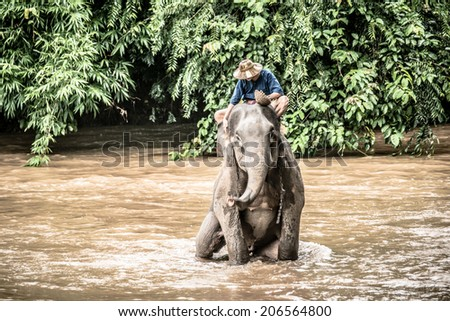 Bath on the elephant at Chiang Dao, Thailand, 19, july. 2014. for tourists is swim in the river with an elephant. - stock photo